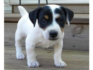 Jack Russell puppies for adoption.