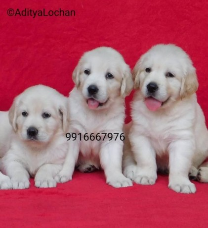 dogs-puppies-for-sale-in-india-big-0