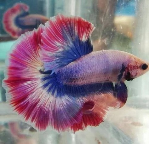 fighter-fish-for-sale-big-0